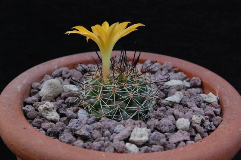 Mammillaria beneckei -2019013