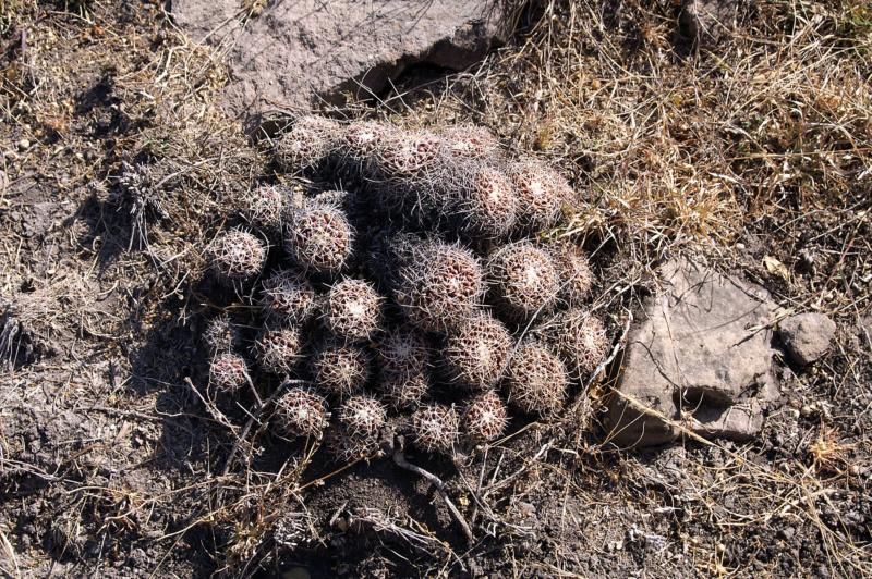 Mammillaria carnea 021-pi10