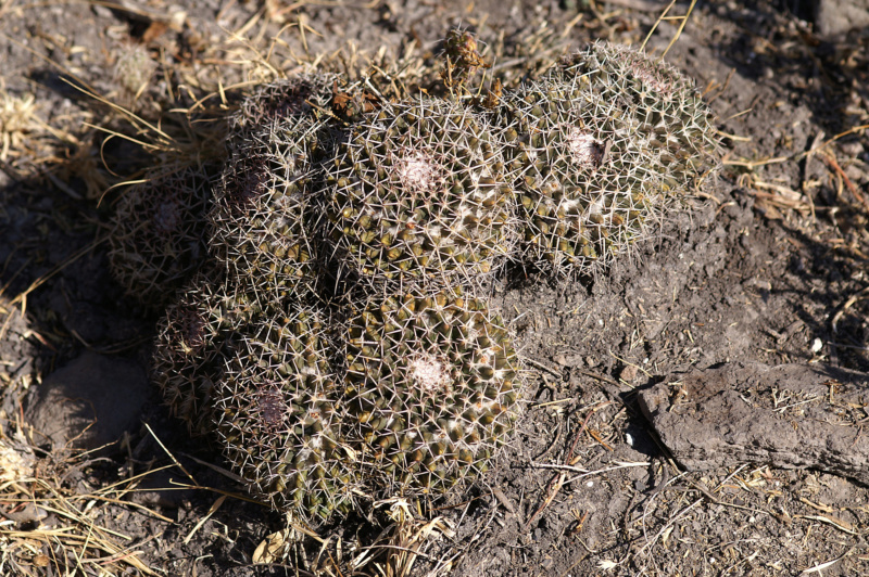 Mammillaria carnea 029-pi10