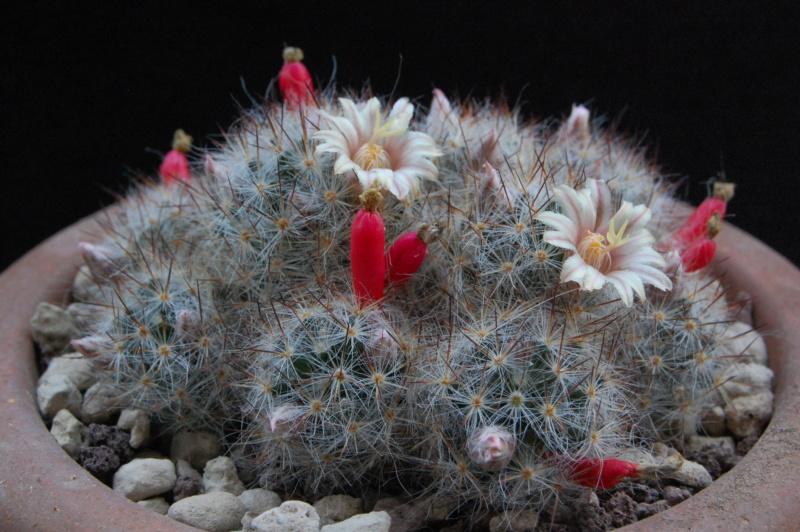 Mammillaria multiceps 10001-10
