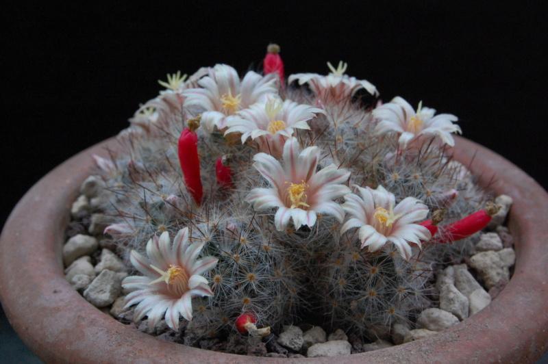 Mammillaria multiceps 10001-11