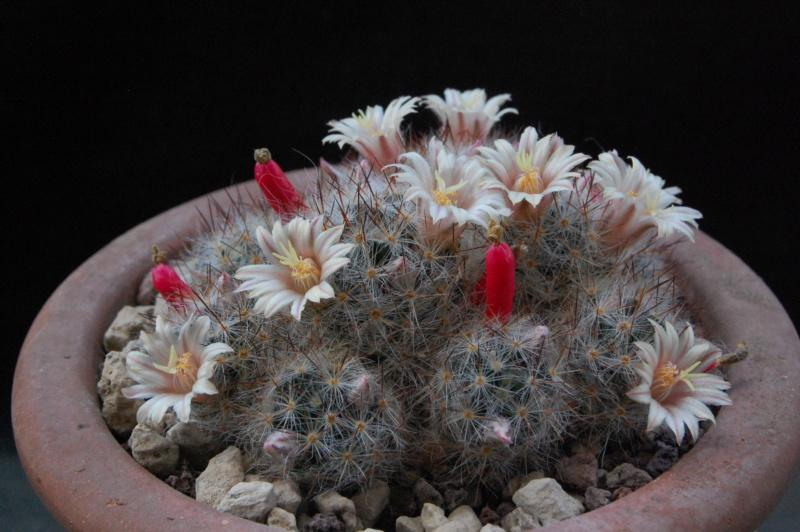 Mammillaria multiceps 10001-12