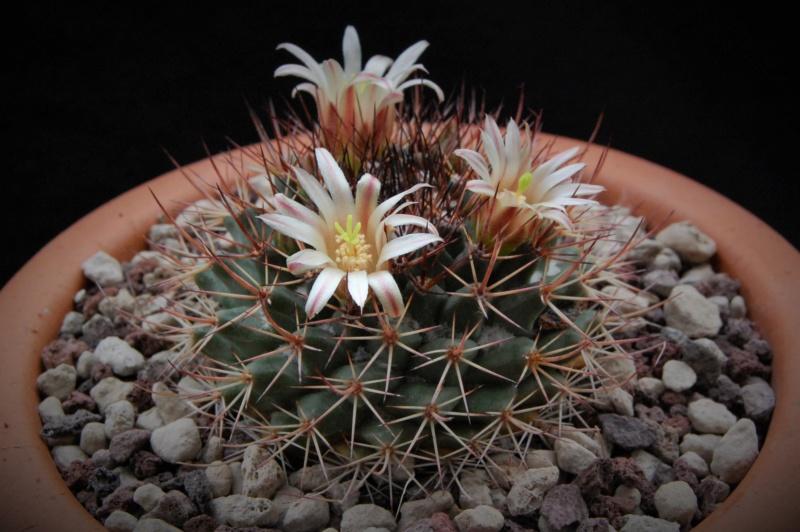 Mammillaria bocensis 10016-10