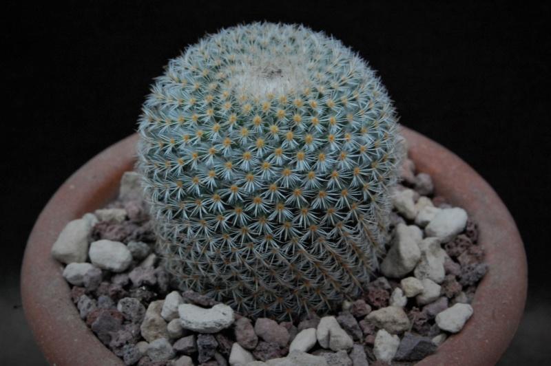 Mammillaria gieseckei 11019-10