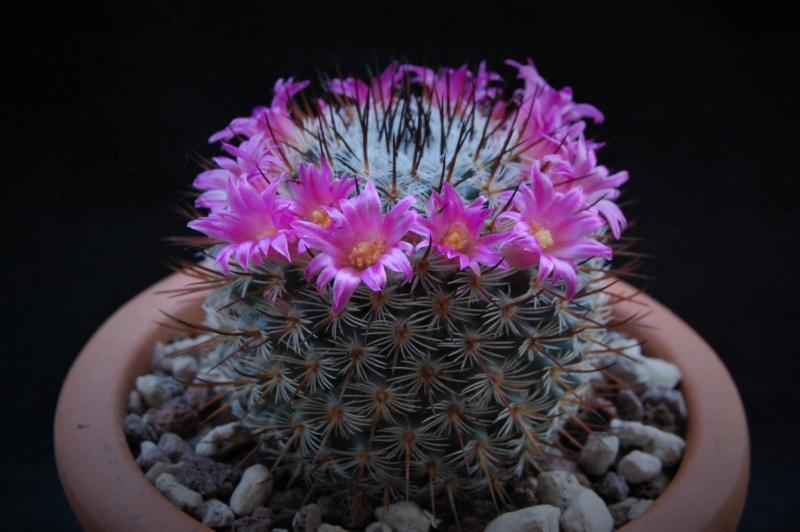Mammillaria haageana 11023-10