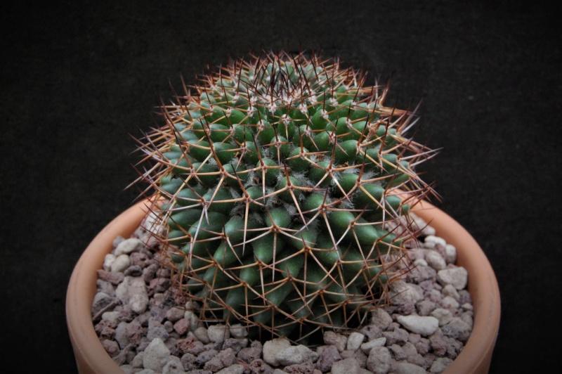 Mammillaria kewensis 11028-10