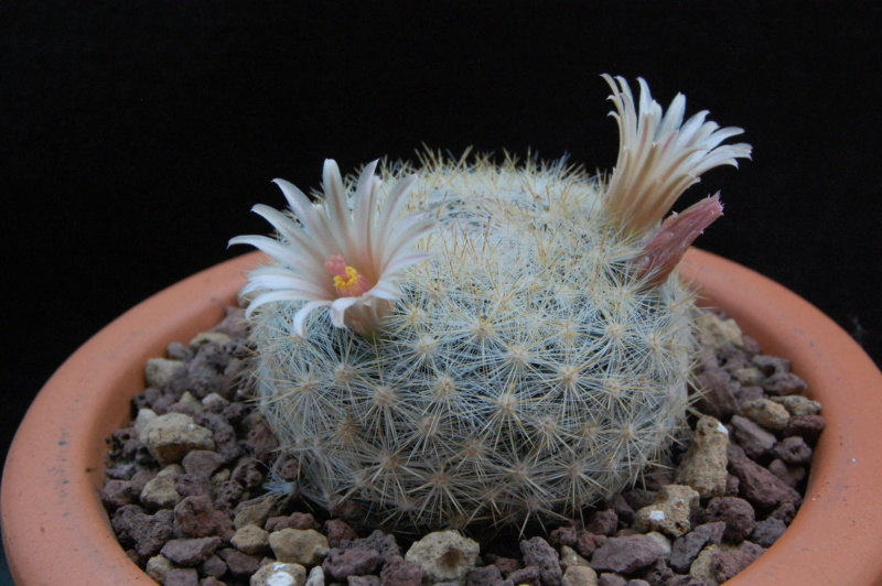 Mammillaria candida 11032-10