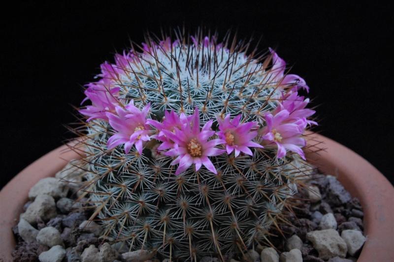 Mammillaria haageana 11041-10