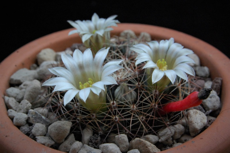 Mammillaria heyderi 11043-10