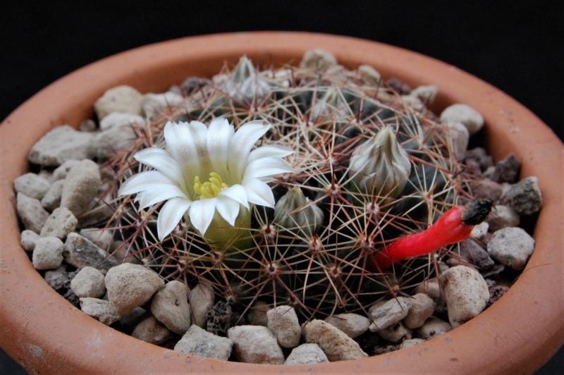 Mammillaria heyderi 11043-11