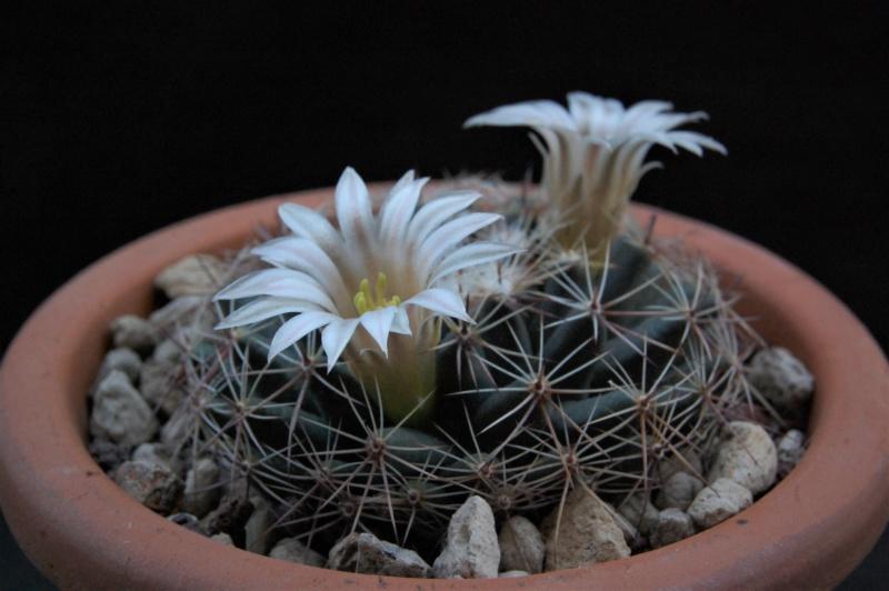 Mammillaria heyderi 11043-12