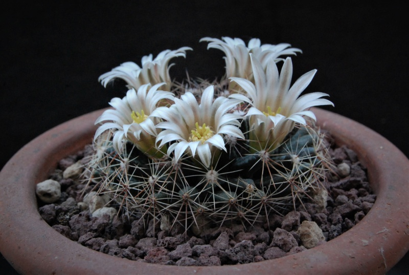 Mammillaria heyderi 11043-13