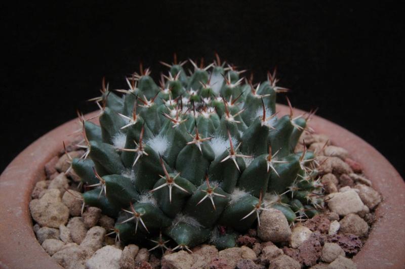 Mammillaria priessnitzii 11059-12