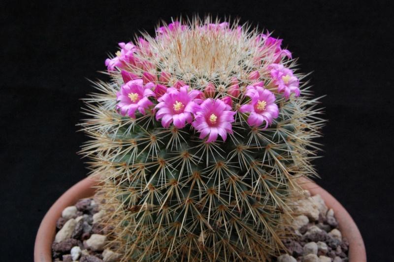 Mammillaria auricoma       11071-10