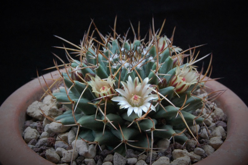 Mammillaria vagaspina 11076-10