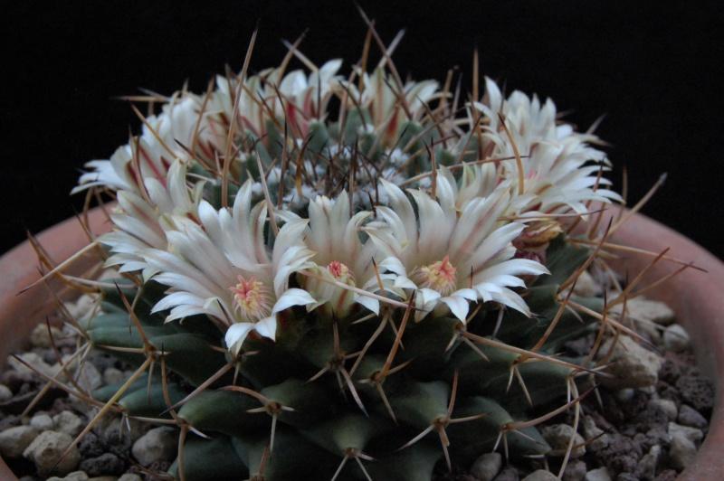 Mammillaria vagaspina 11076-11