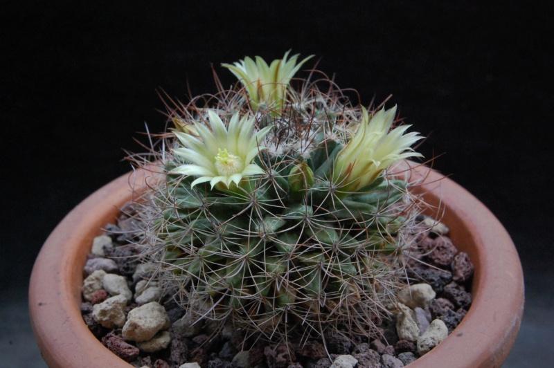 Mammillaria brandegeei 11083-12