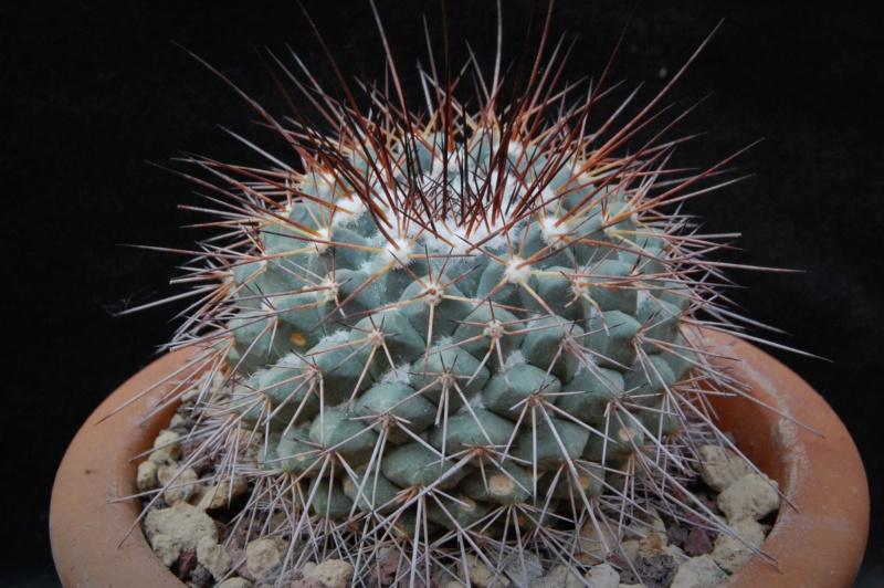 Mammillaria craigii 11090-10