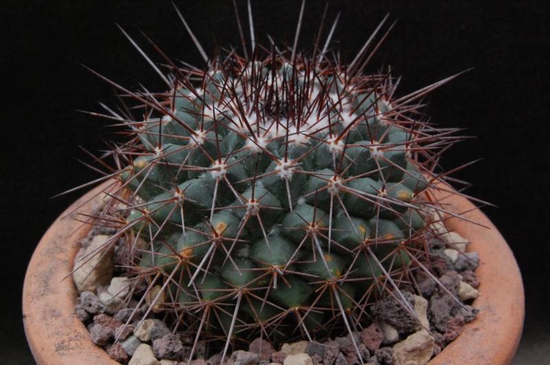Mammillaria craigii 11091-10
