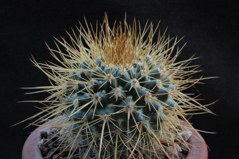 Mammillaria apozolensis    11096-10