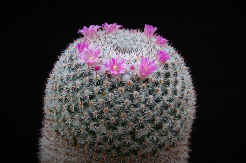 Mammillaria albata 11105-10