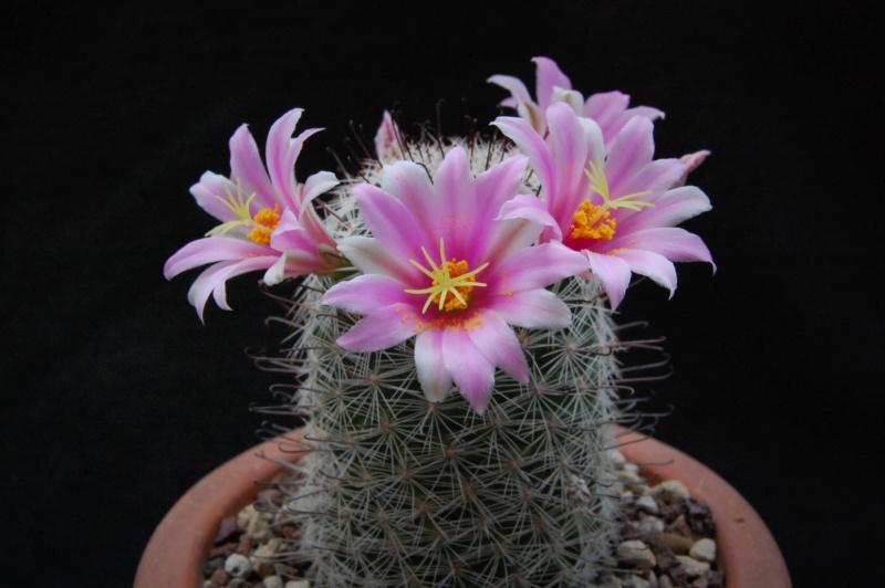 Mammillaria grahamii 11133-11