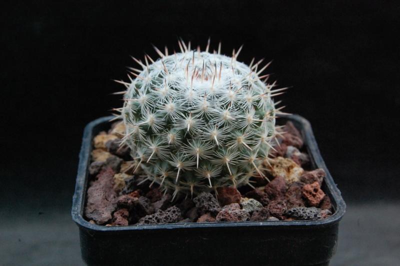 Mammillaria albata 11201-10