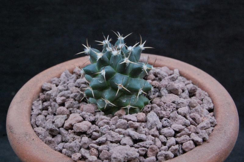 Mammillaria magnimamma 11217-10