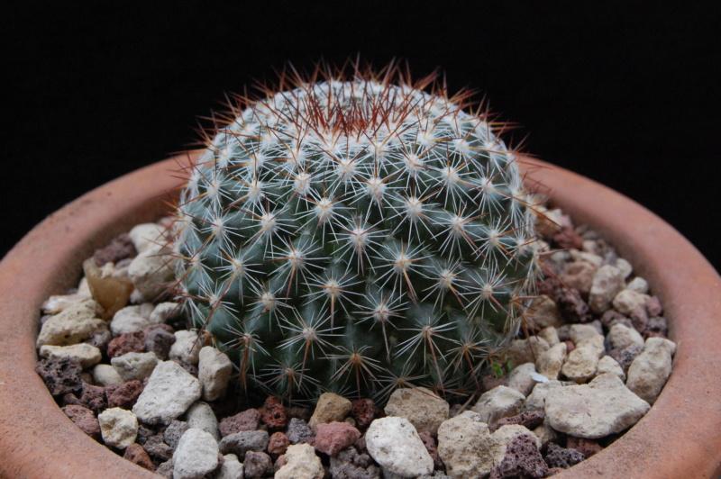 Mammillaria temorisensis 11307-10