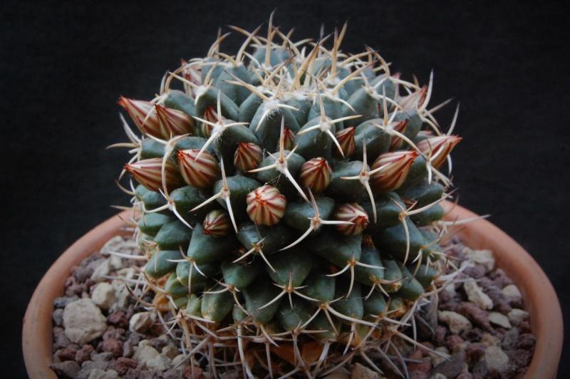 Mammillaria magnimamma 11317-13