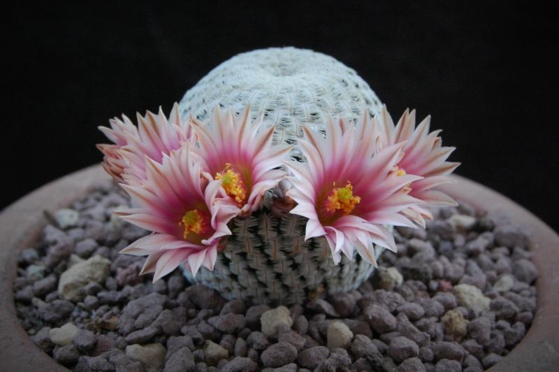 Mammillaria pectinifera 11701-10
