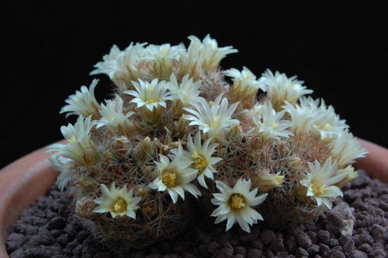 Mammillaria rischeri 11716-11
