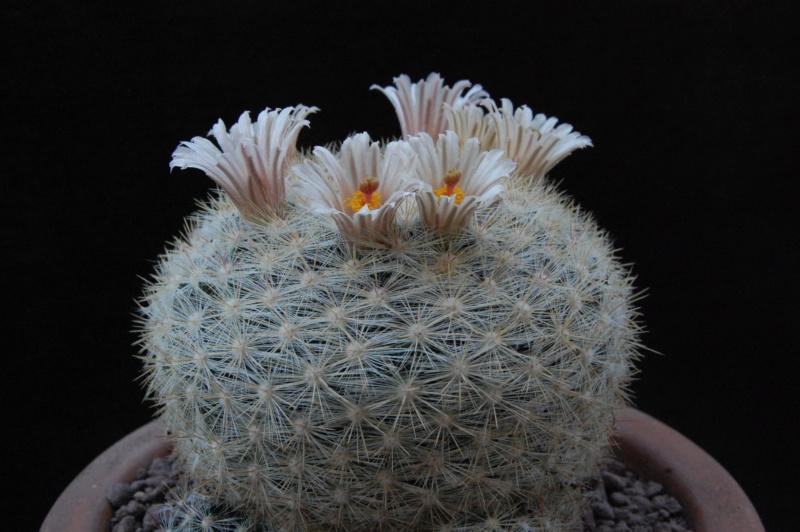 Mammillaria ortizrubiona 11717-11