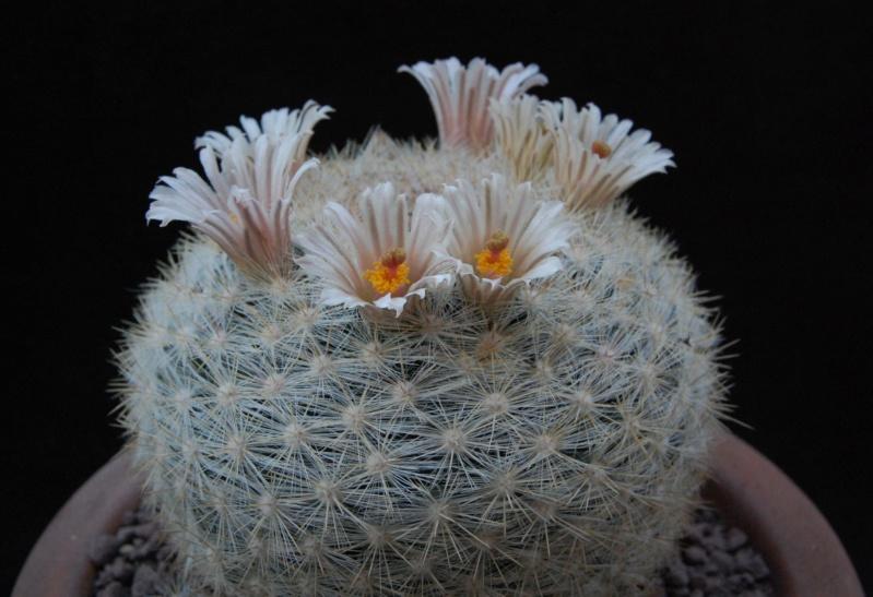 Mammillaria candida 11717-12