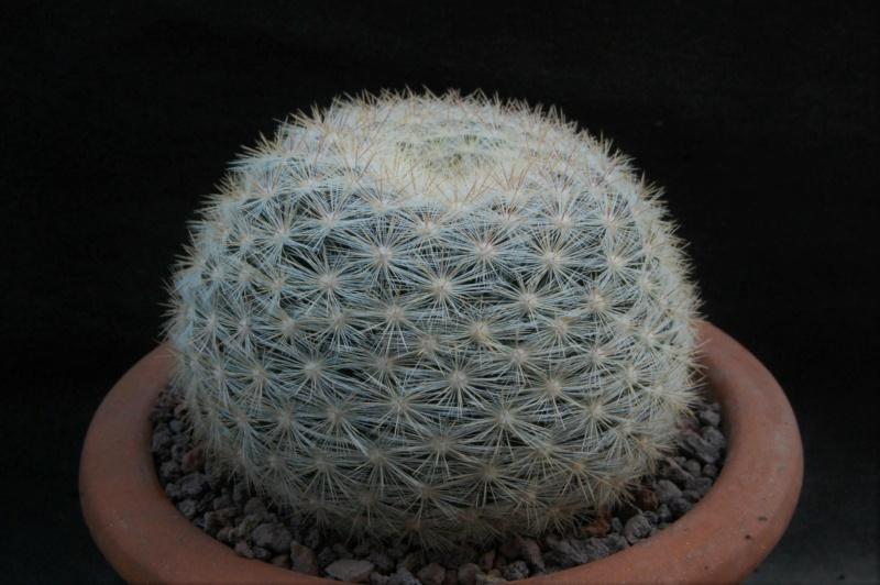 Mammillaria candida 11717-14