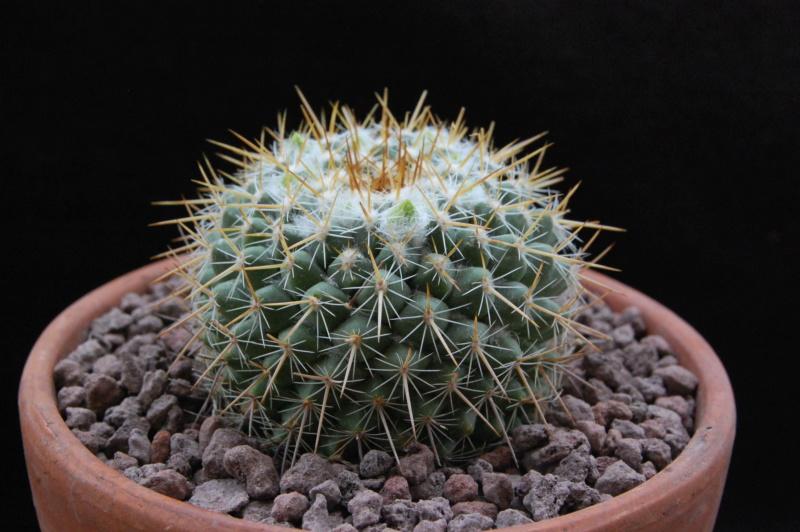 Mammillaria canelensis 11738-11