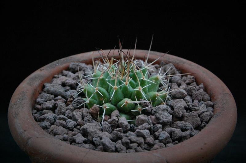 Mammillaria seitziana 11856-10