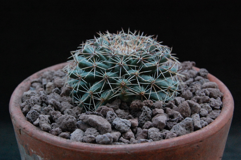Mammillaria heyderi - Page 2 11878-10