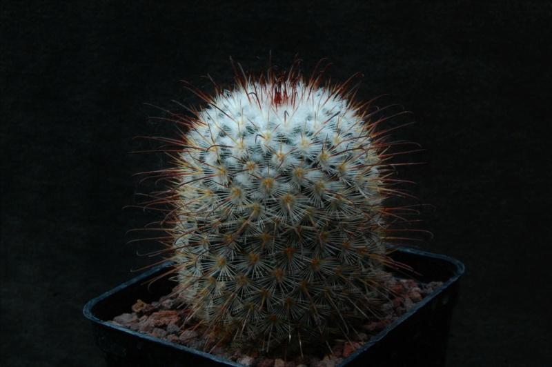 Mammillaria bombycina 12046-10