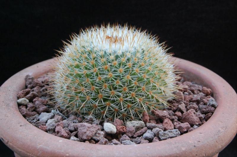 Mammillaria elegans 12134-10