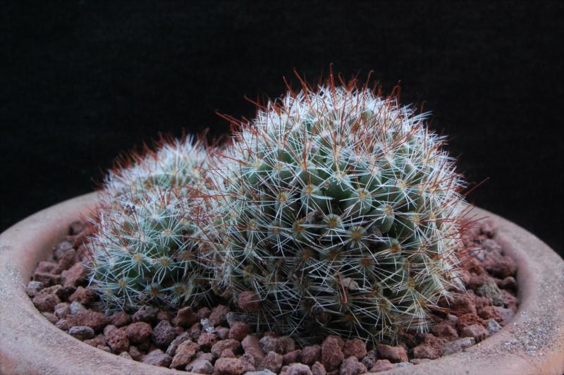Mammillaria glochidiata 12160-10