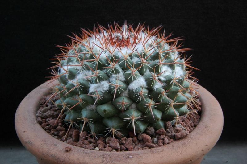 Mammillaria maycobensis 12171-11