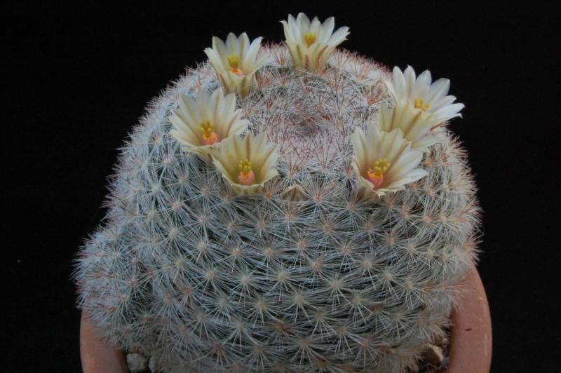 Mammillaria candida 1503-211