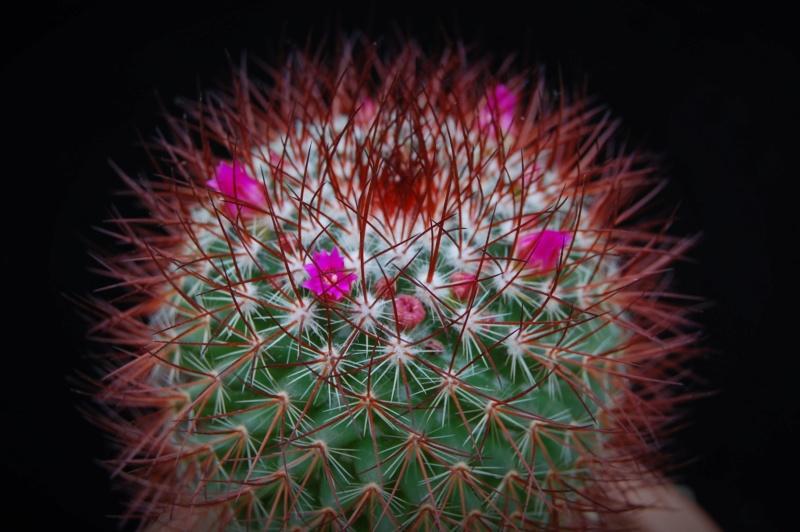 Mammillaria rhodantha 1506-210