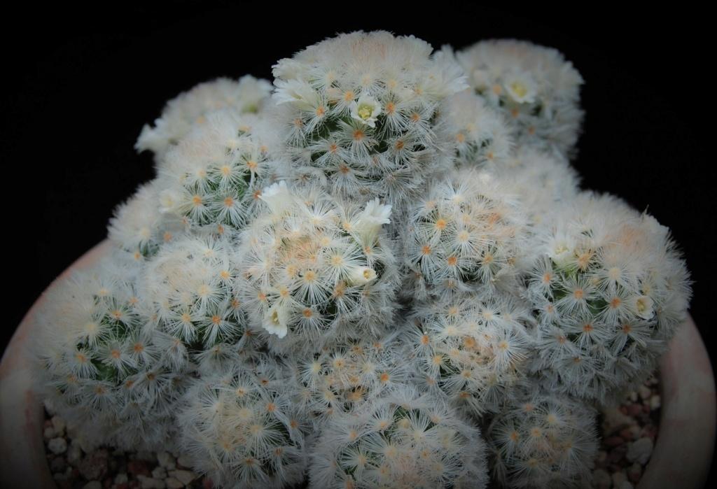Mammillaria carmenae 17-20110
