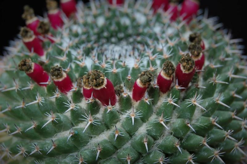 Mammillaria sempervivi 2222-211
