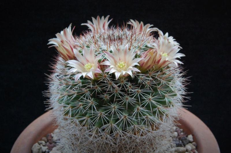 Mammillaria brandegeei 2283-210