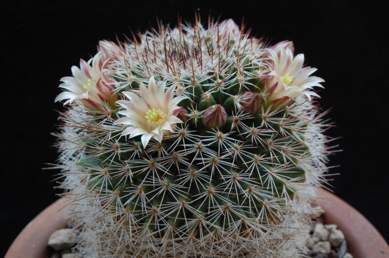 Mammillaria brandegeei 2283-211