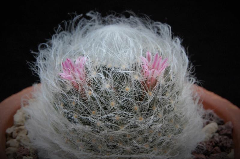 Mammillaria aureilanata      2361-210