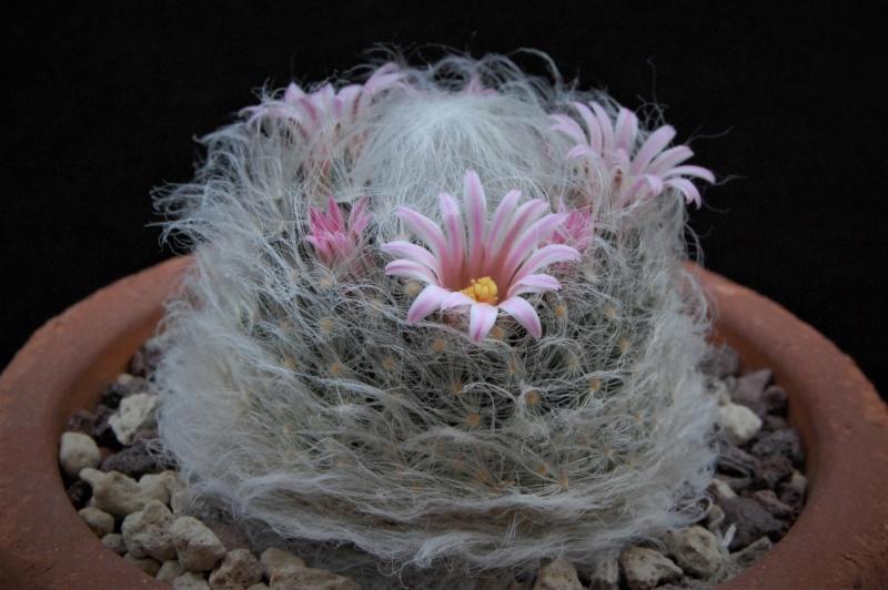 Mammillaria aureilanata      2361-211